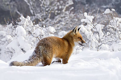 Fox In The Snow Poster by Roeselien Raimond