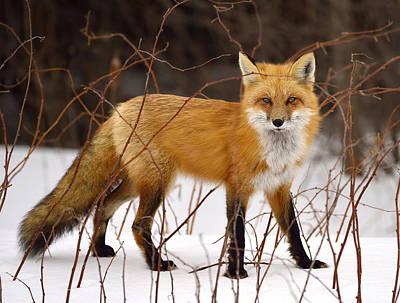 Fox In Winter Poster