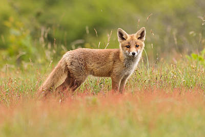 Fox Kit In A Field Of Sorrel Poster by Roeselien Raimond