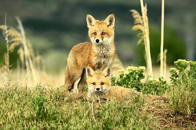 Fox Kits II Poster
