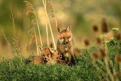 Fox Kits Iv Poster