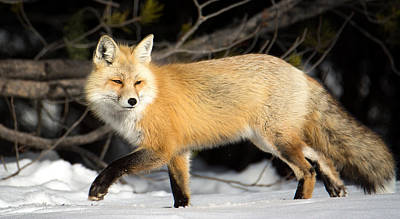 Fox On A Stroll Poster