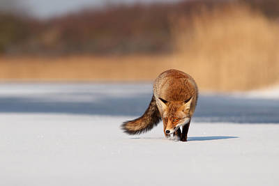 Fox On Ice Poster by Roeselien Raimond
