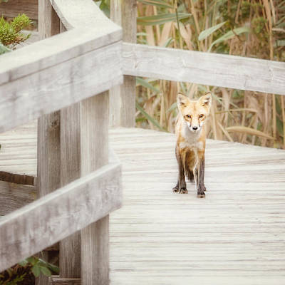 Fox On The Boardwalk Poster by Vicki Jauron