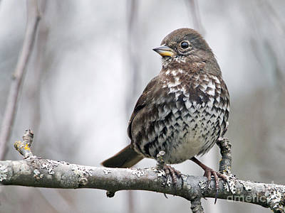 Poster featuring the photograph Fox Sparrow by Inge Riis McDonald