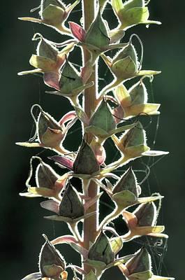 Foxglove (digitalis Purpurea) Seedpods Poster