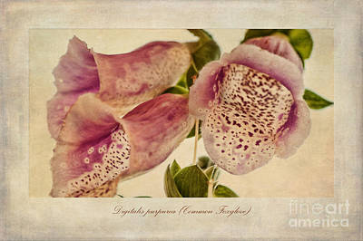 Foxglove Textures Poster by John Edwards