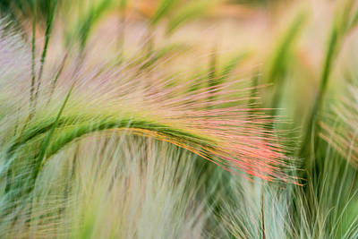 Foxtail Barley Near Regent, North Poster by Chuck Haney