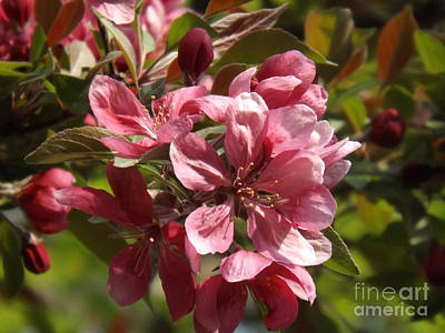 Fragrant Crab Apple Blossoms Poster by Brenda Brown