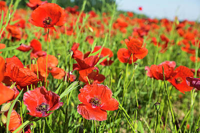 France, Poppy Fields Near St Poster by Emily Wilson