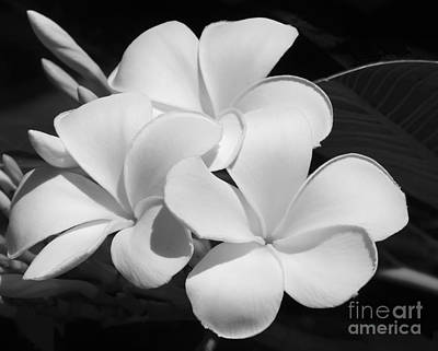 Frangipani In Black And White Poster by Sabrina L Ryan