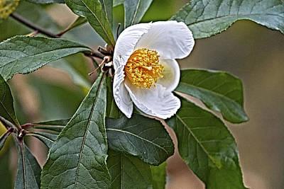 Franklinia Blossom  Poster