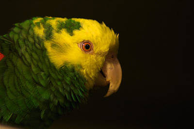Poster featuring the photograph Fred The Amazon Parrot by Melissa Messick