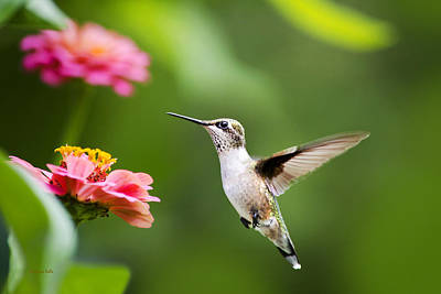Free As A Bird Hummingbird Poster by Christina Rollo