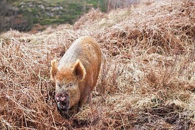 Free Range Pig Poster