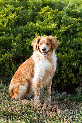 Poster featuring the photograph French Brittany Spaniel by Steven Frame
