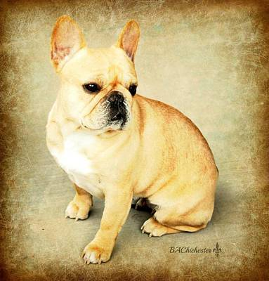 Poster featuring the photograph French Bulldog Antique by Barbara Chichester