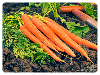 Fresh Carrots From The Garden Poster by Edward Fielding