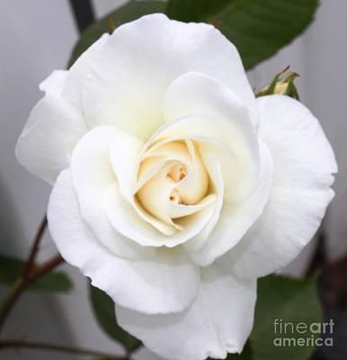 Fresh White Rosebud Poster by French Toast
