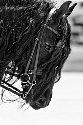 Friesian Beauty Poster