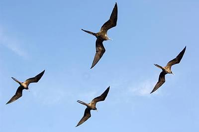 Frigatebirds In Flight Poster by Daniel Sambraus