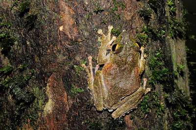 Frilled Tree Frog Poster