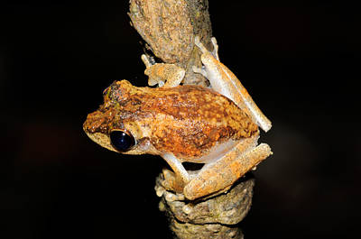 Frilled Tree Frog, Malaysia Poster