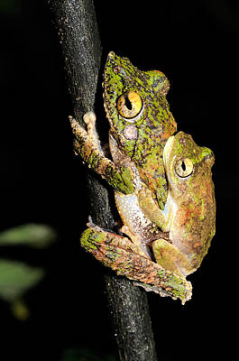 Frilled Tree Frogs Mating Poster