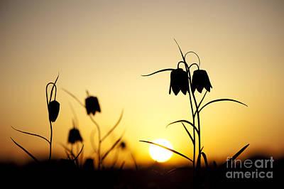 Fritillary Flower Sunset Poster
