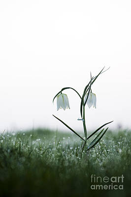 Fritillary In The Mist Poster