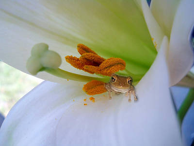 Frog In The Lily Poster by Judy Hall-Folde