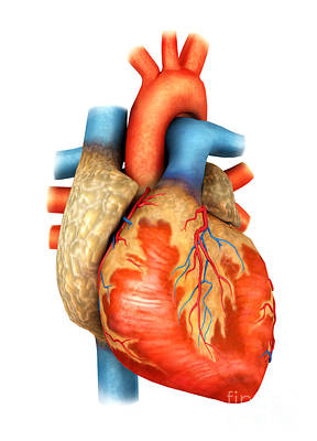 Front View Of Human Heart Poster by Stocktrek Images