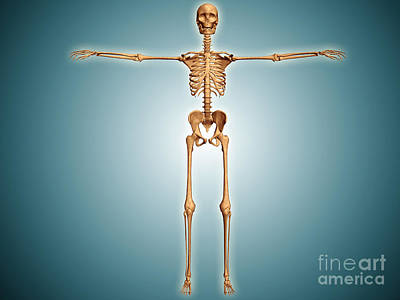 Front View Of Human Skeletal System Poster by Stocktrek Images