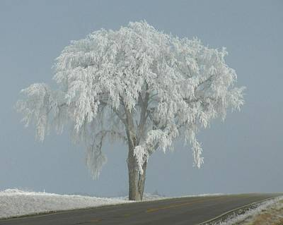 Frost Covered Lone Tree Poster
