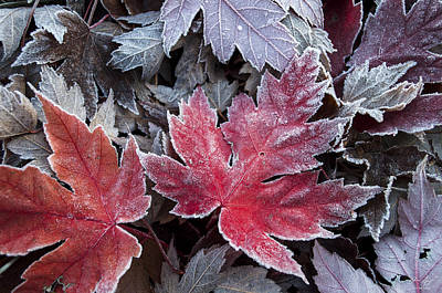 Frosted Maple Leaves Poster