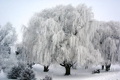 Frosted Willow Trees Poster