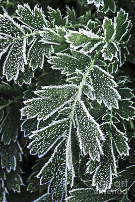 Frosty Leaves Macro Poster