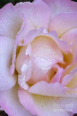 Frosty Pink Rose Morning Poster