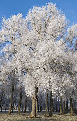 Frosty Trees Poster by David Isaacson