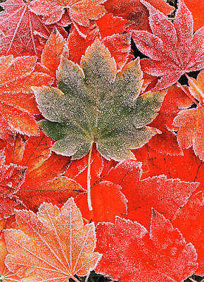 Frozen Autumn Leaves, Close-up (large Poster by Stuart Westmorland