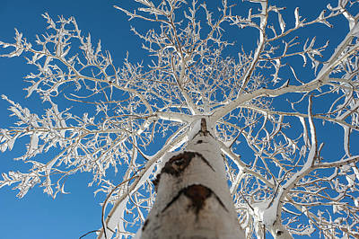 Frozen Bare Tree In Winter Against Blue Poster