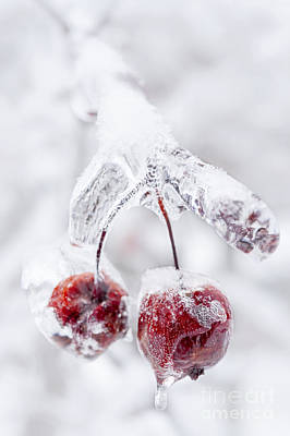 Frozen Crab Apples On Icy Branch Poster by Elena Elisseeva
