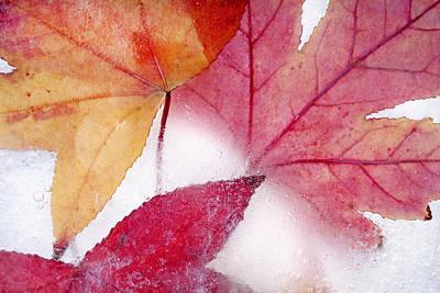 Frozen Sweetgum Leaves Poster by Robert Jensen
