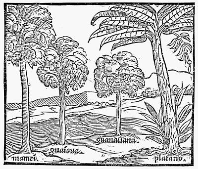 Fruit Trees Of Hispaniola Poster by Granger