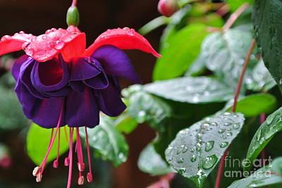 Fuchsia After Rain Poster