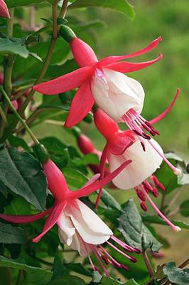 Fuchsia 'alice Hoffmann' Poster by Ann Pickford