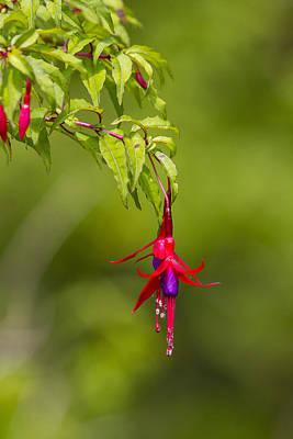 Fuchsia Blossoms Poster