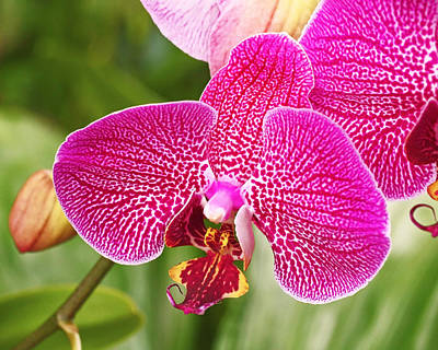 Fuchsia Moth Orchid Poster by Rona Black