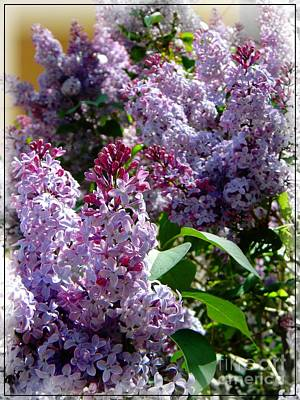Full Bloom Lilacs Poster by Michelle Frizzell-Thompson