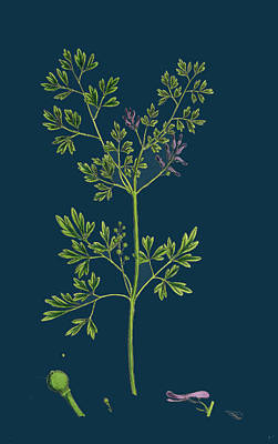 Fumaria Muralis Rampant Fumitory Poster by English School
